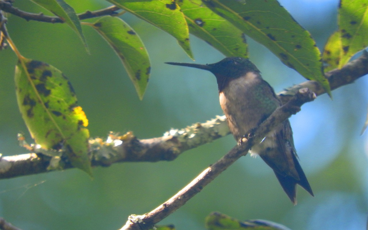a male ruby-throated hummingbird hiding in harsh light