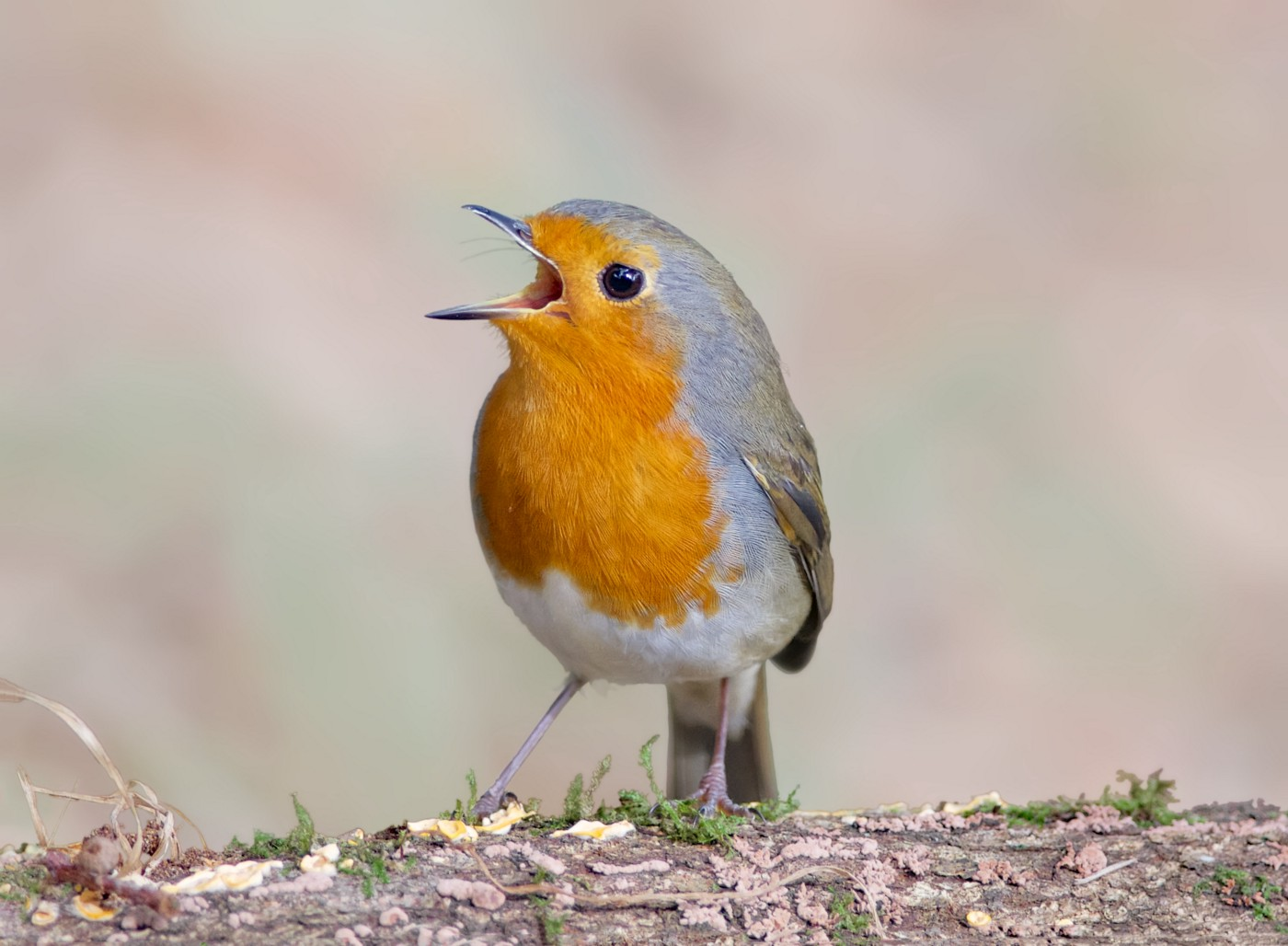 A European robin singing