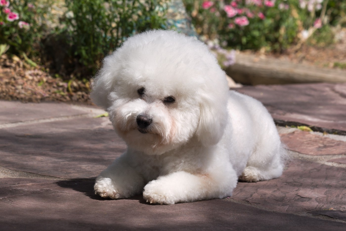 A Bichon Frise dog lying on pathway