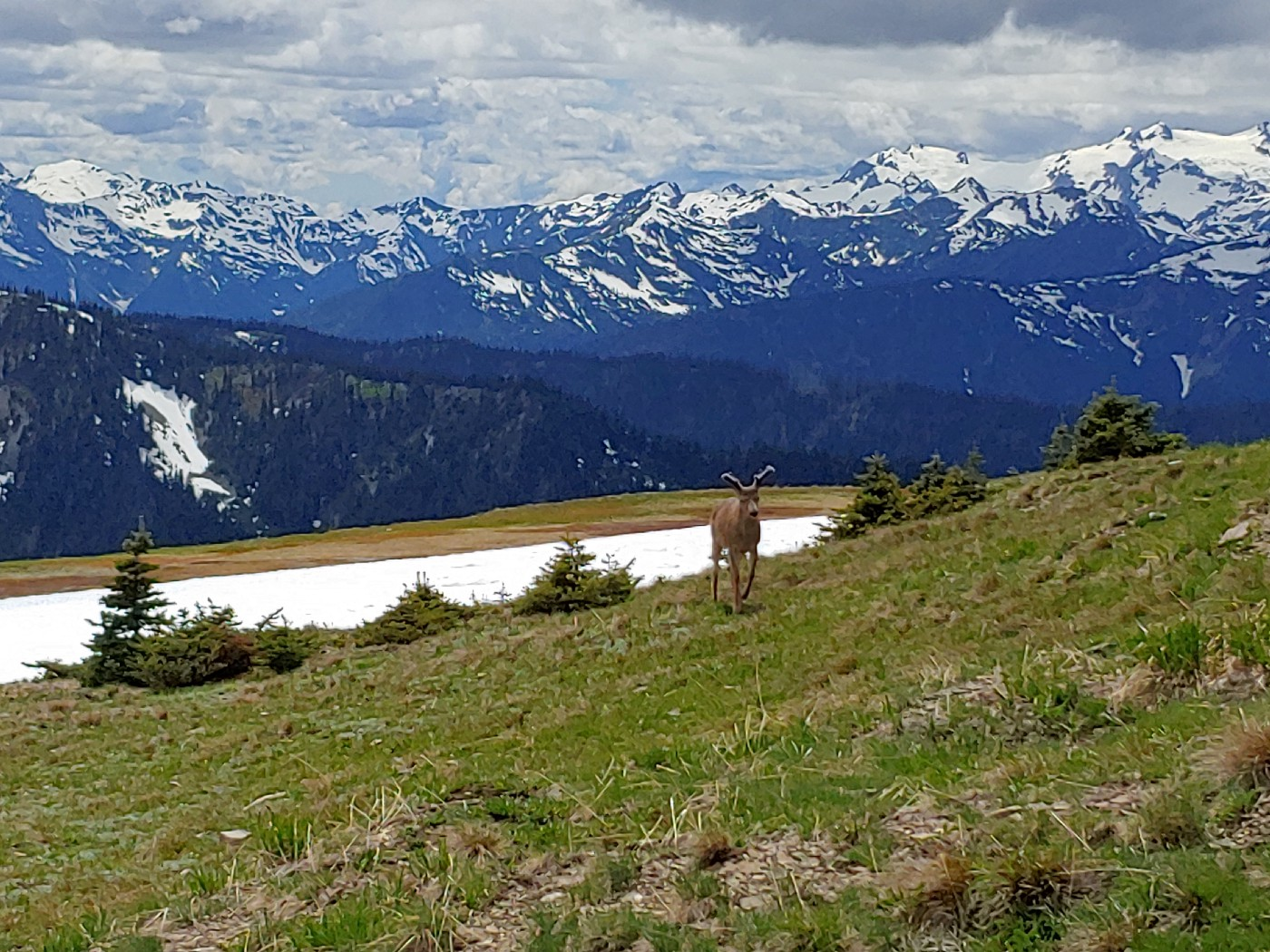 A black-tailed buck in velvet stands against the backdrop of the Olympic Mountains at Obstruction Point.