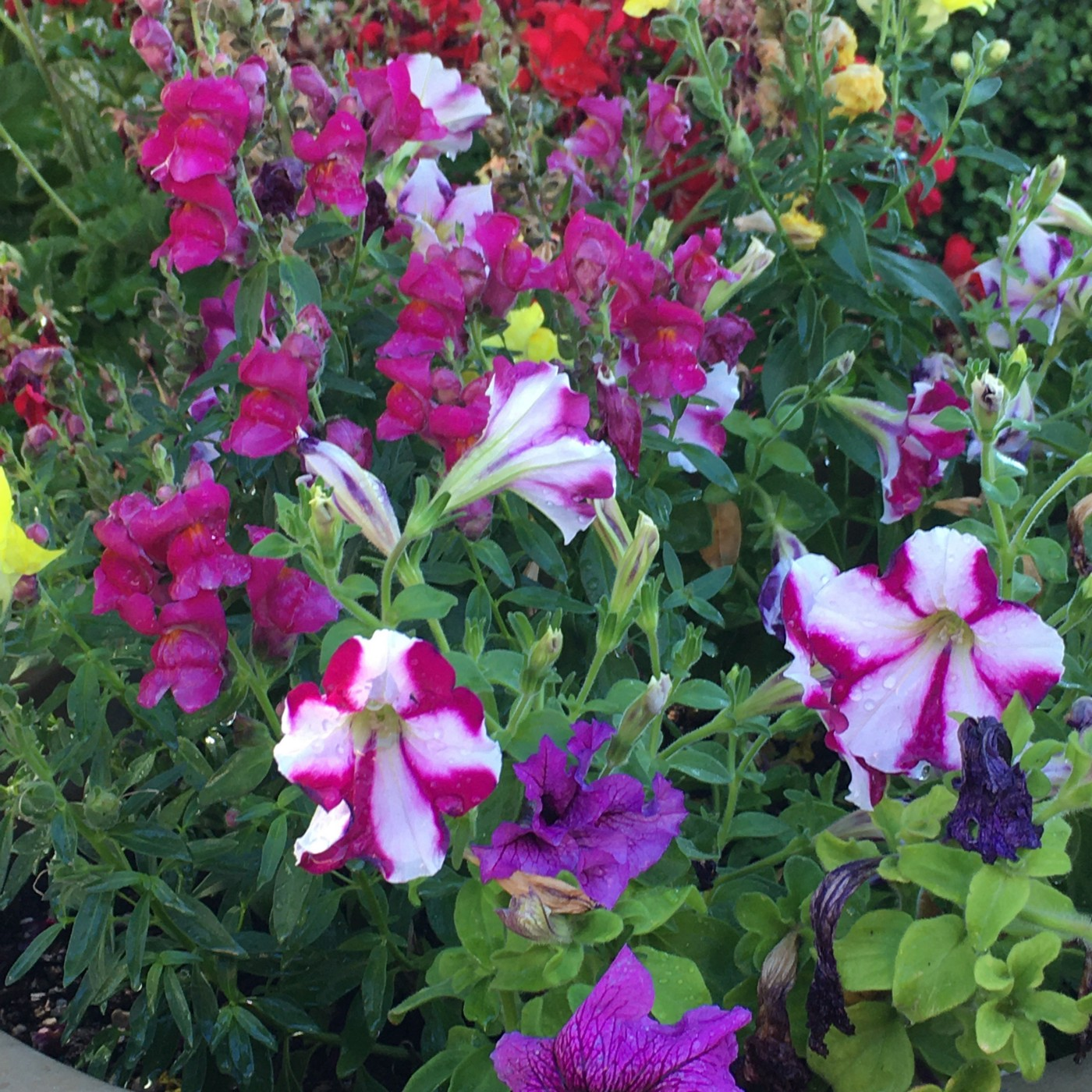Multiple flowers, some magenta and white striped, some purple or bright pink, growing together.
