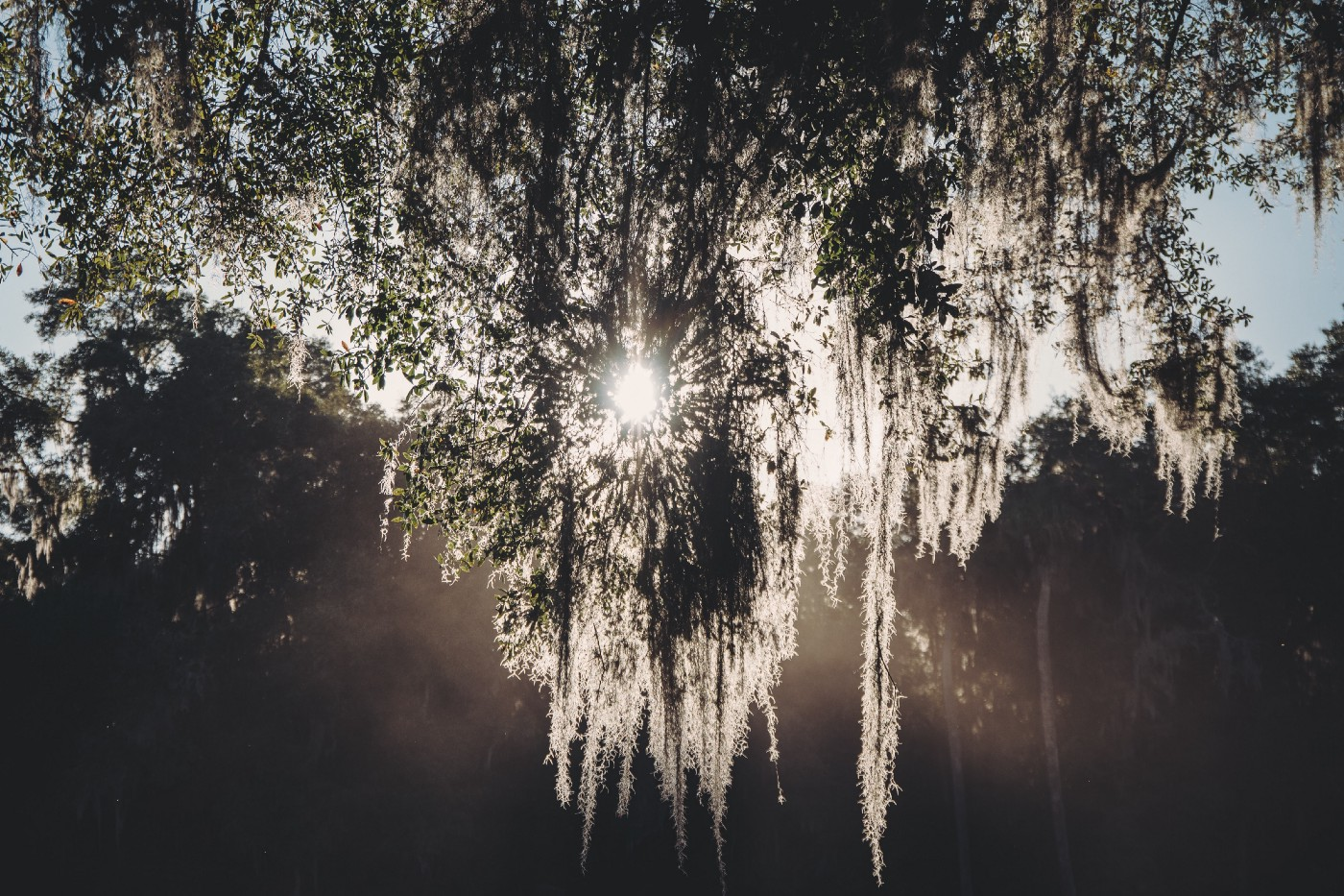 Sunshine through Spanish moss hanging from tree, with more trees in background