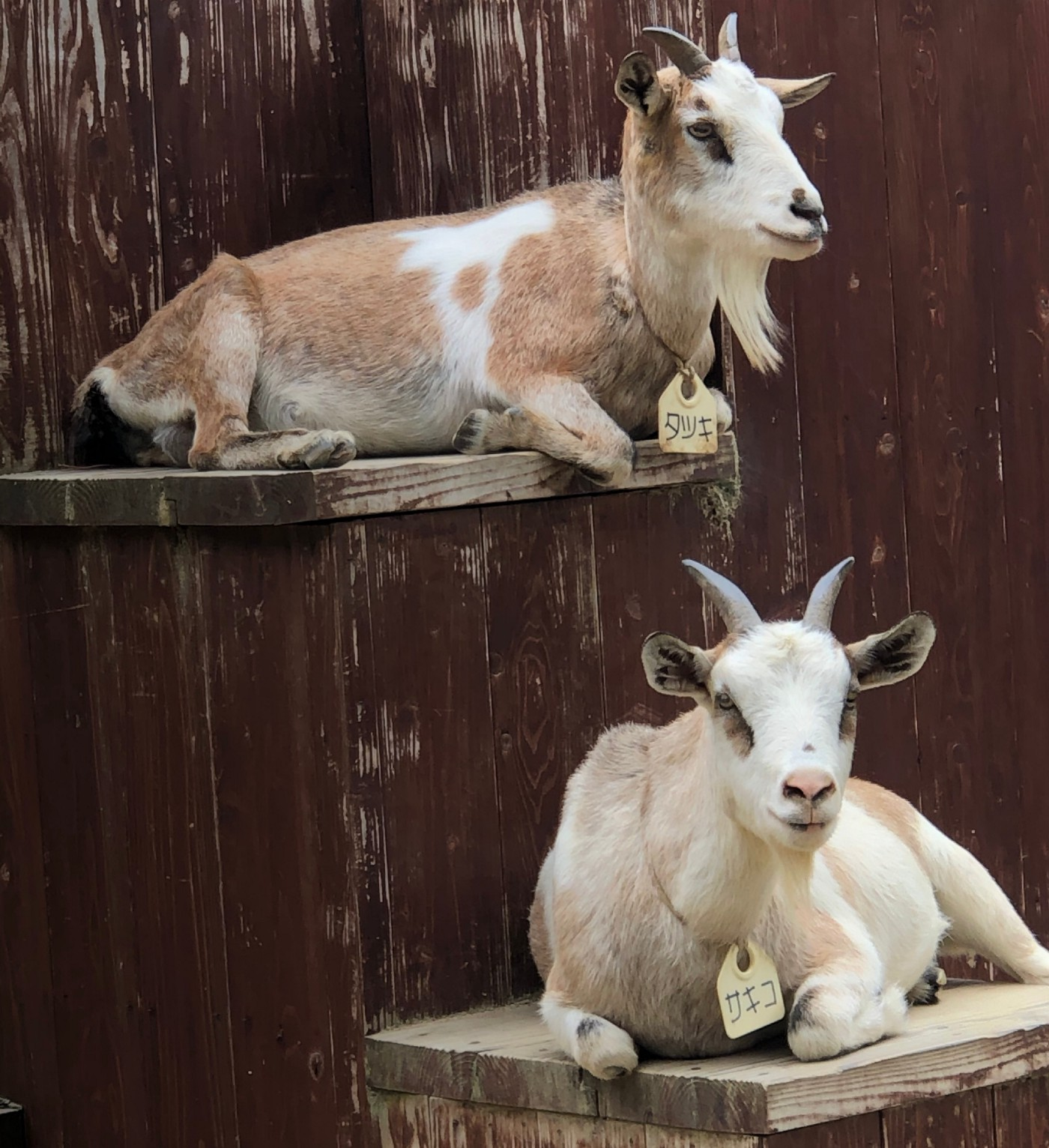 Pet goats resting comfortably in a controlled living space