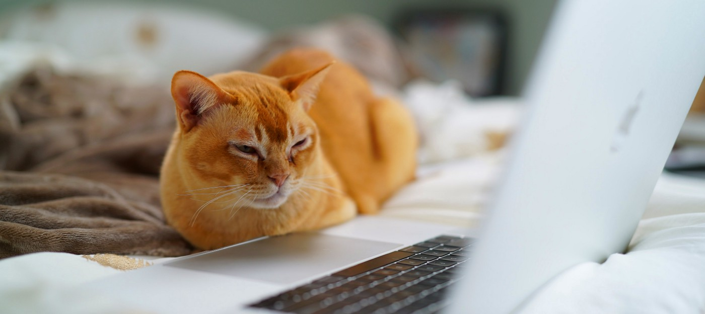 Cat staring at the laptop