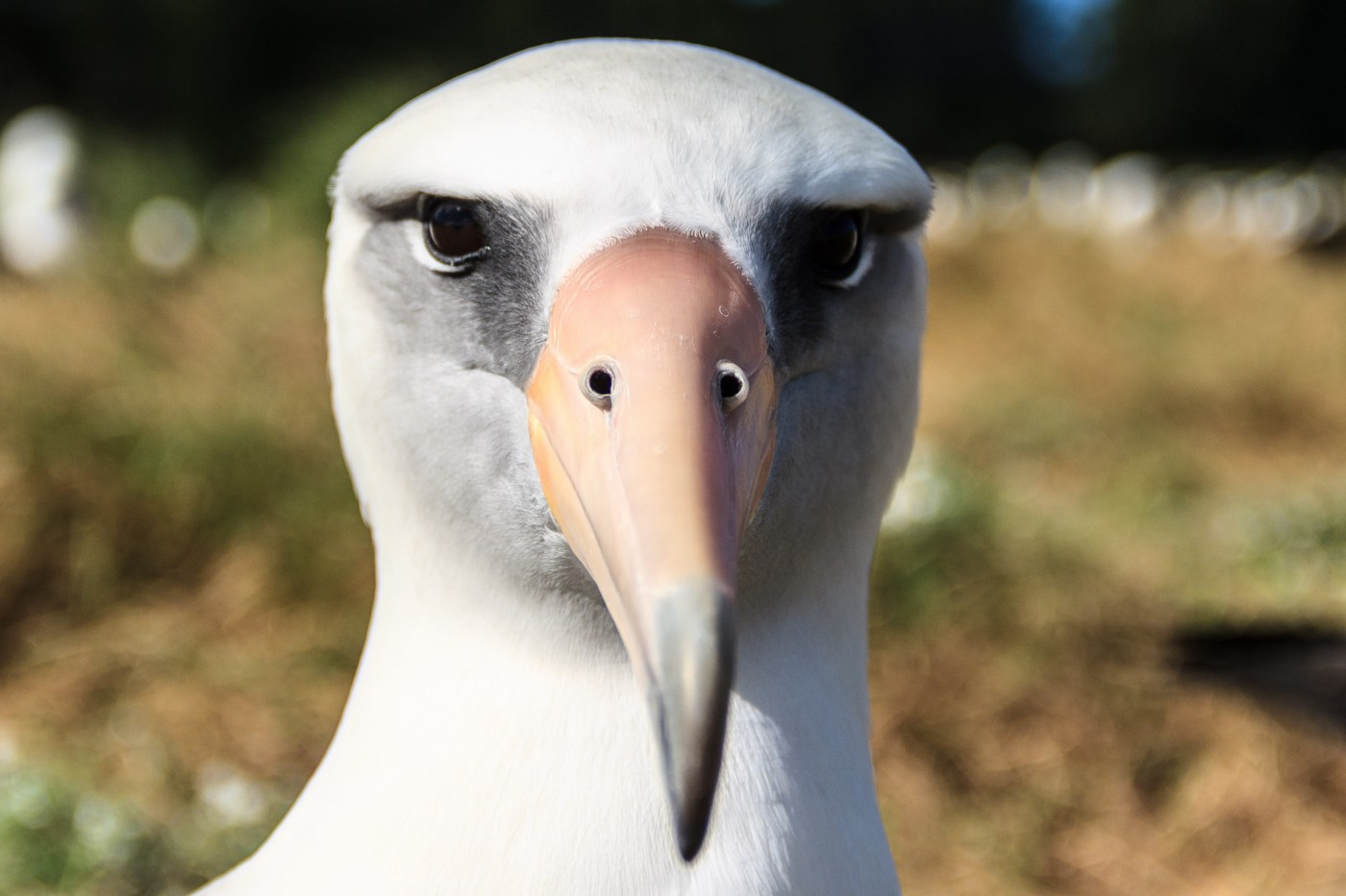 Closeup of albatross head