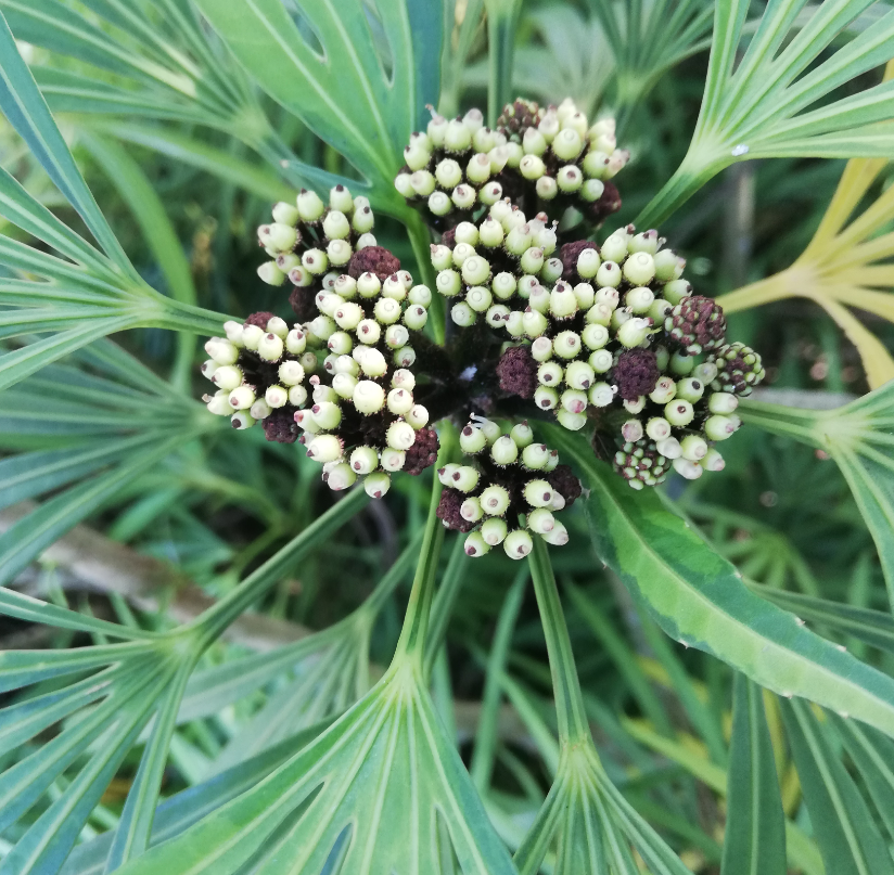 Osmoxylon lineare, green plant with center seeds