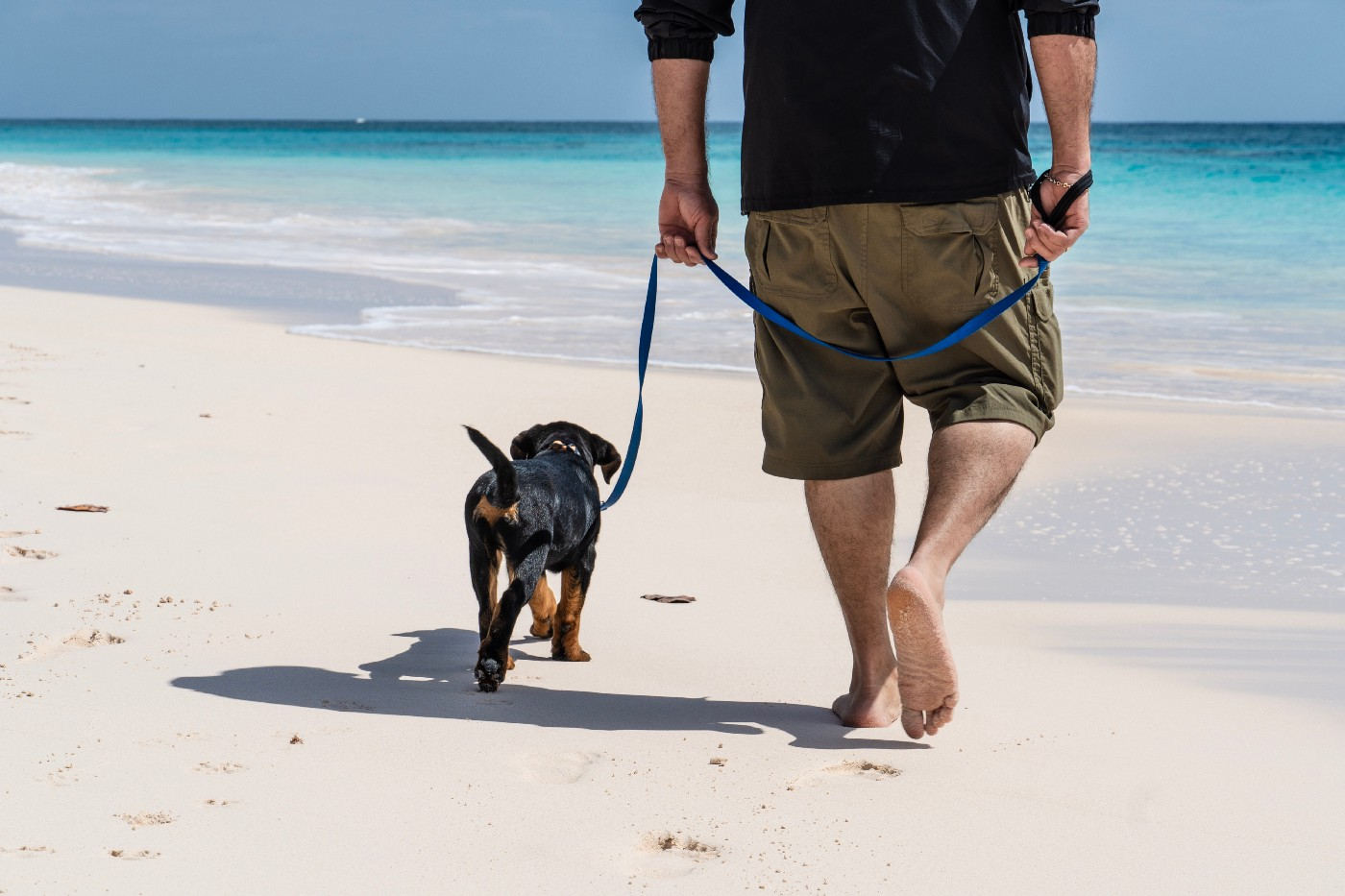 A black small dog with a brown bum walking with its owner on the beach. The owner is holding a blue long leash walking with bare feet.