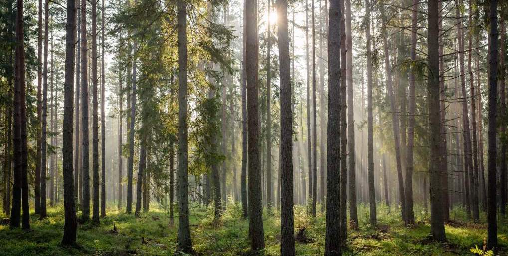 Sunlight streaming through thin trees in a forest