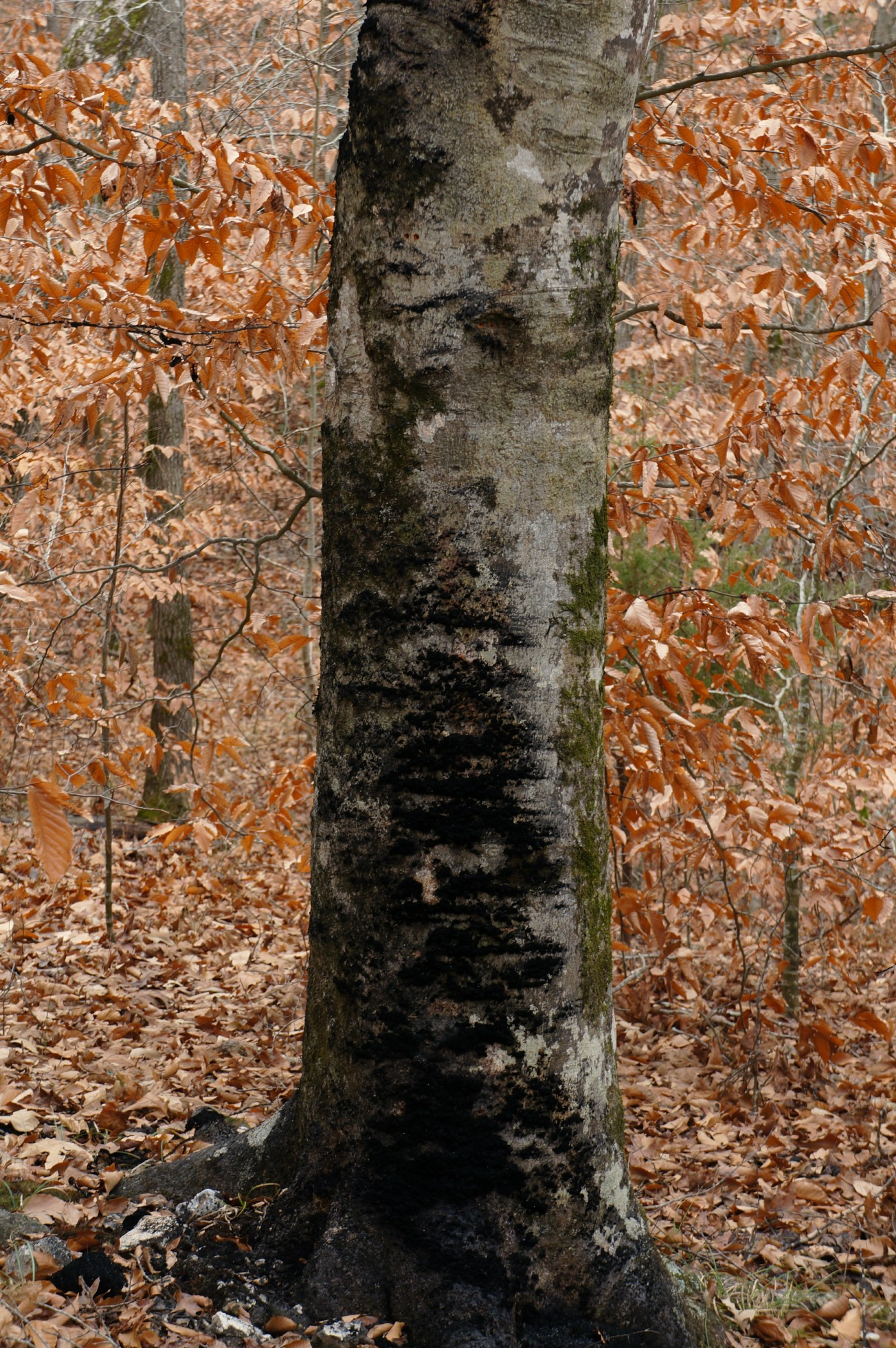 a large tree trunk with large patches of black sooty mold covering it