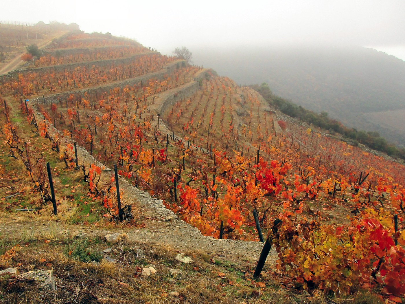 Vineyard in the Douro Valley of Portugal—in the fall.