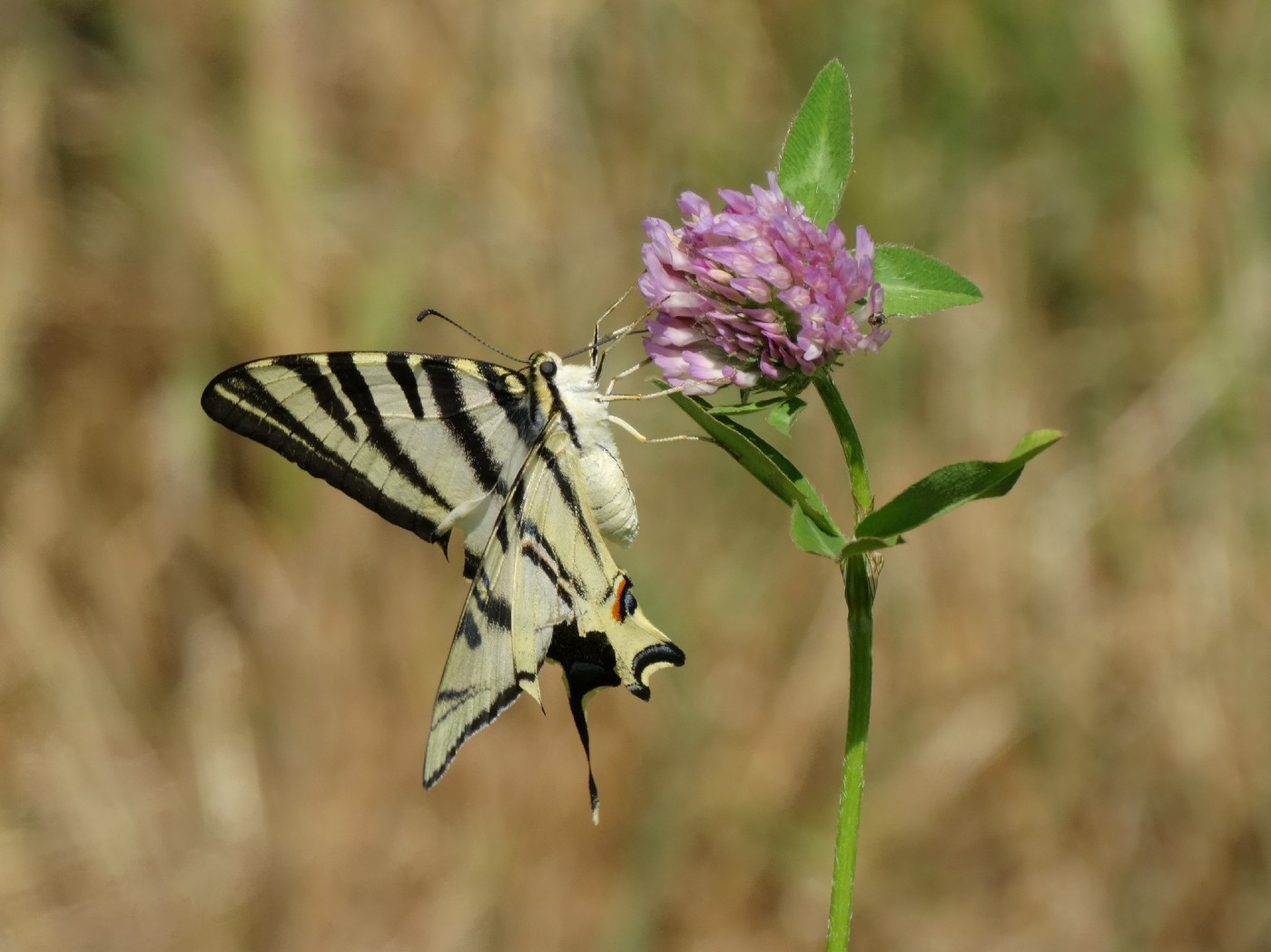 A black-and-white striped butterfly on a pink flower.