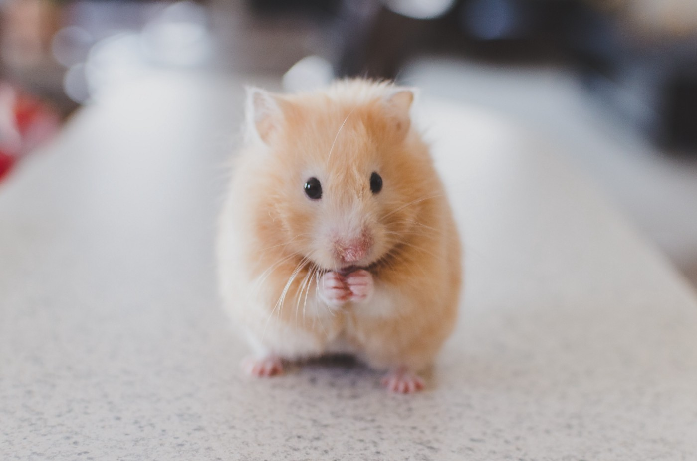 a cute orangish mouse with its front paws together
