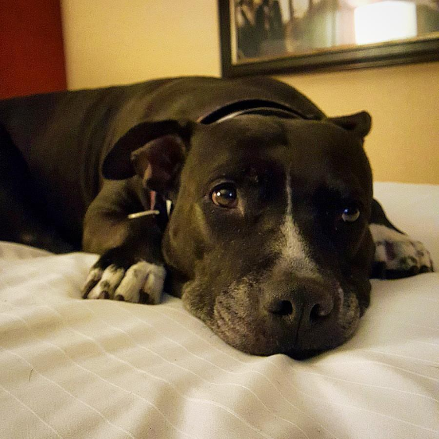 A black and white pit bull resting on a bed