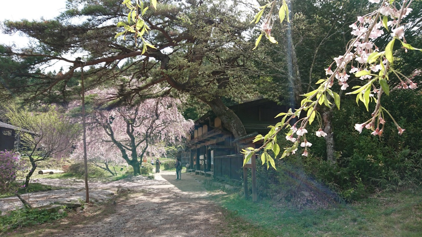 A traditional teahouse on a light-dappled path in a gorgeous rural setting, replete with cherry blossom tree in bloom