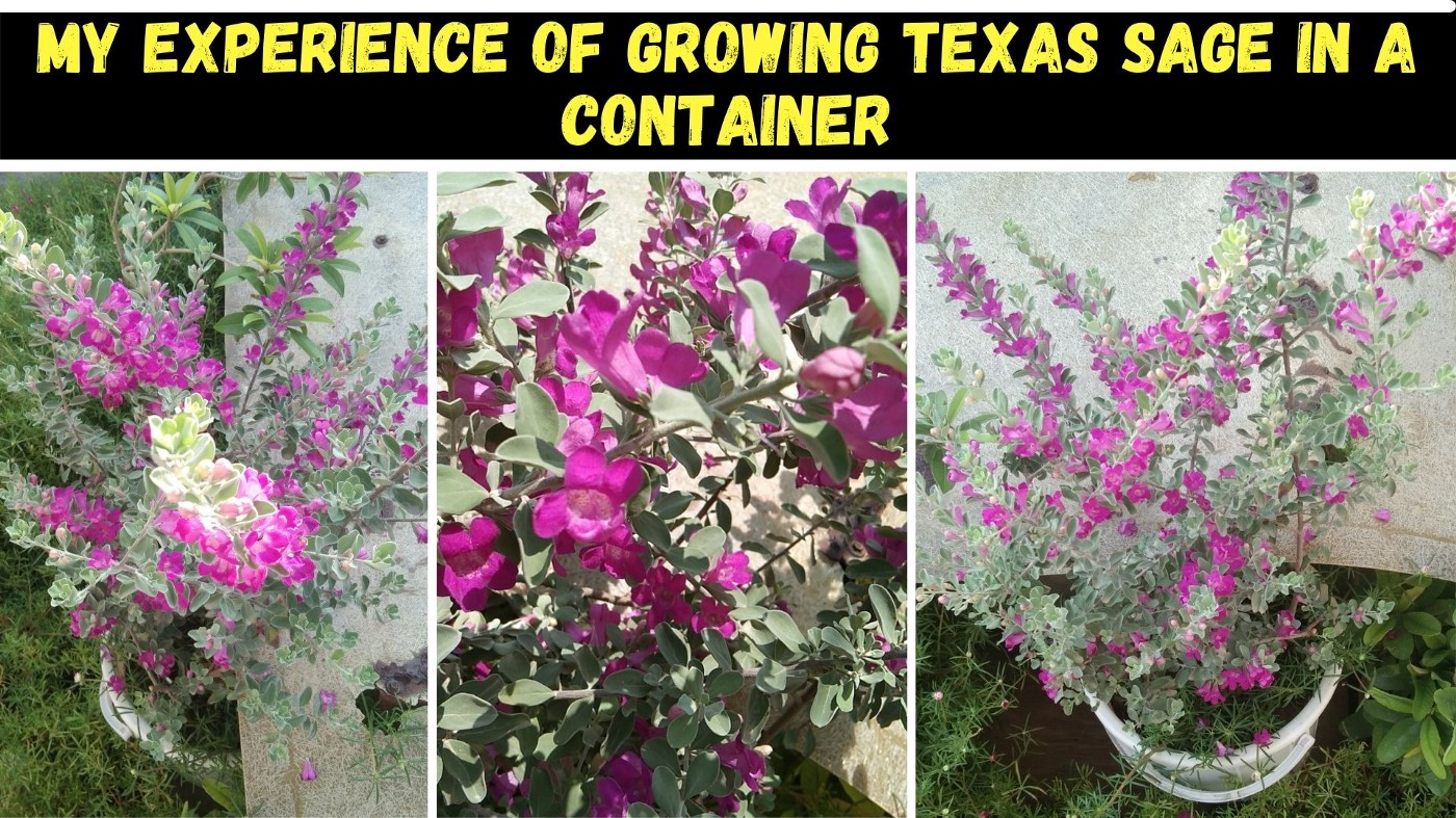 My personal experience of growing Texas sage in a container