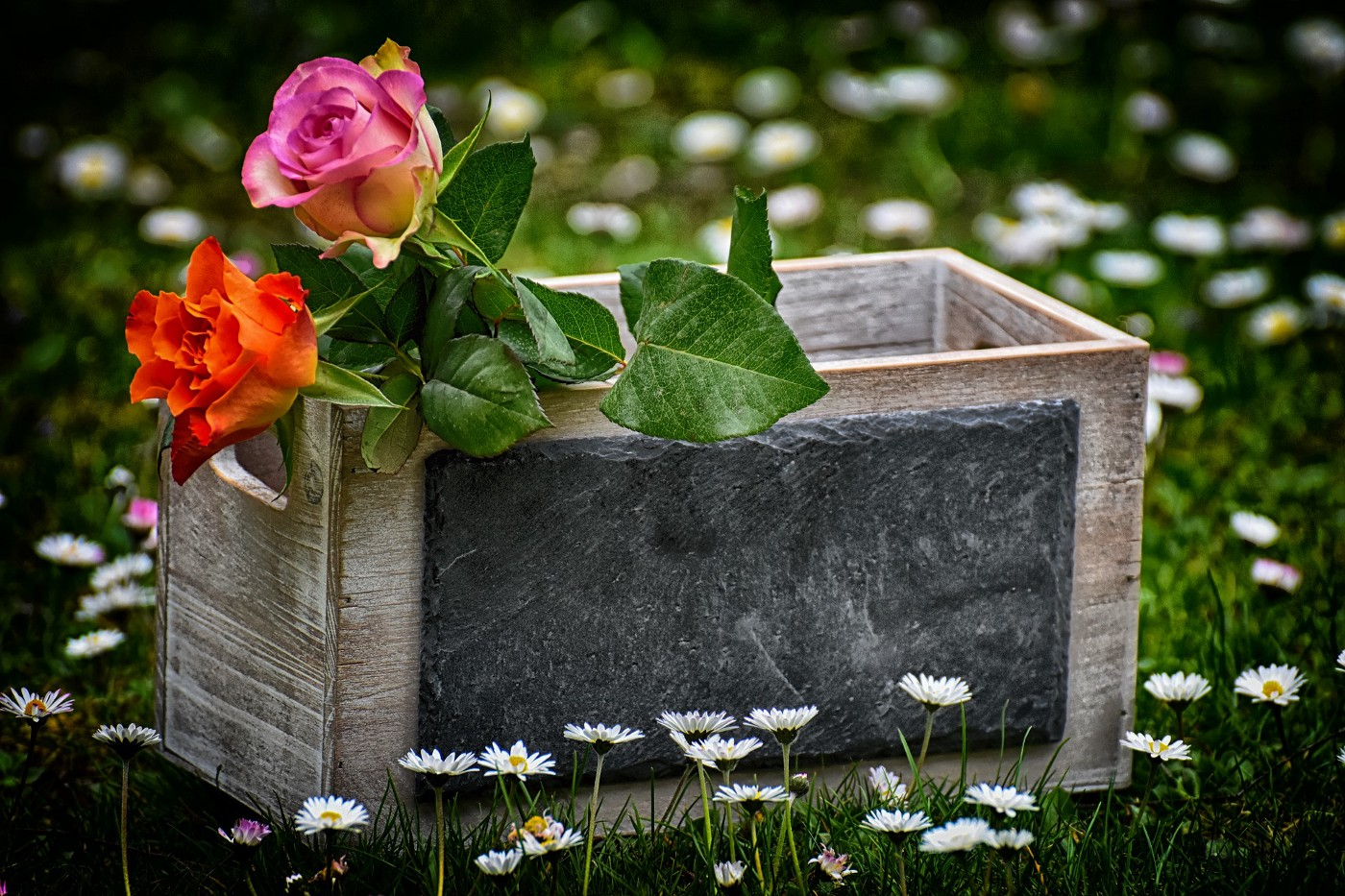 2 beautiful red roses in a box in a garden