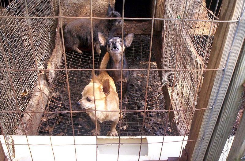 Amish Livestock Puppy Mills Riddled with Unchecked Abuse