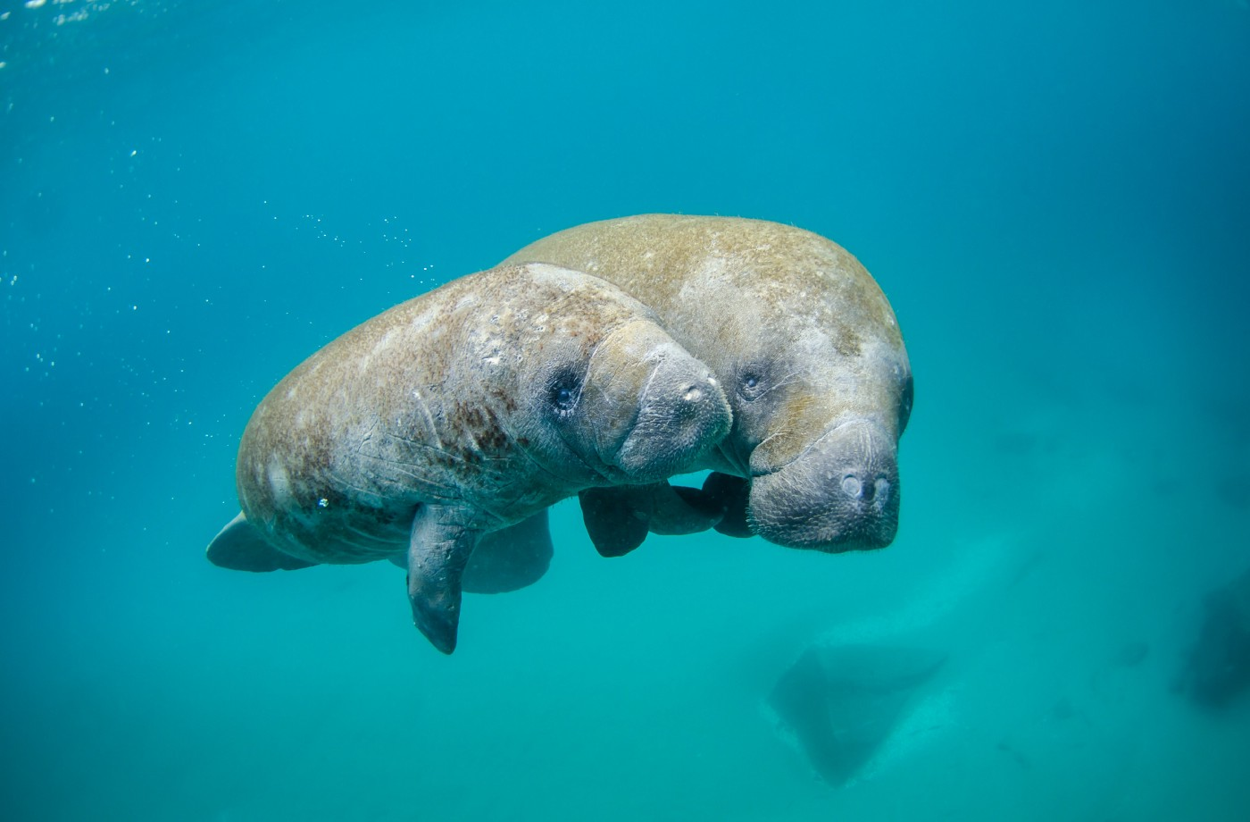a mother and child manatee swimming in clear ocean