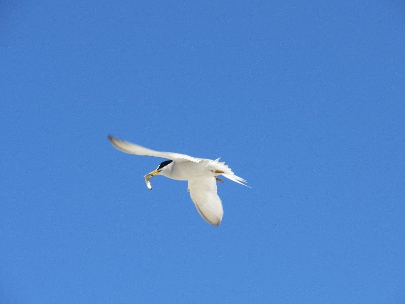 A black and white tern flying with a fish in its mouth