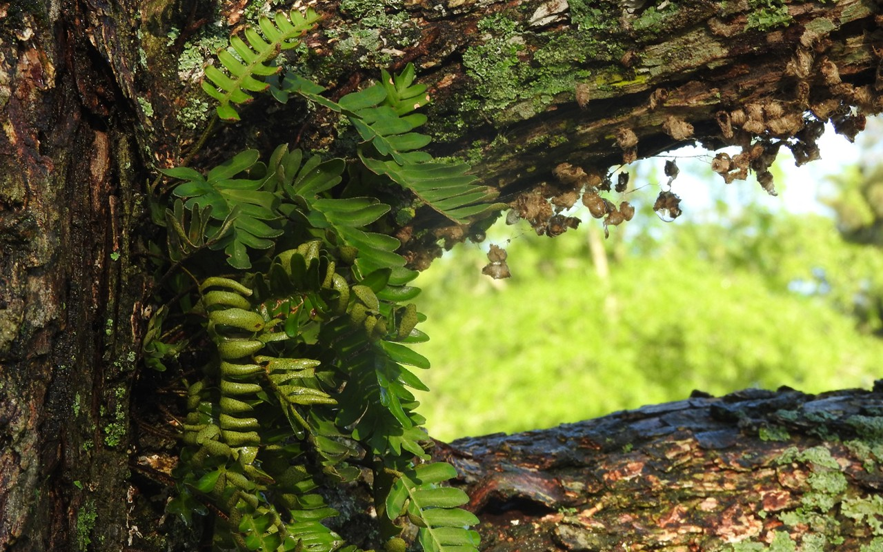 Resurrection Fern on Pecan Close-up in Spring