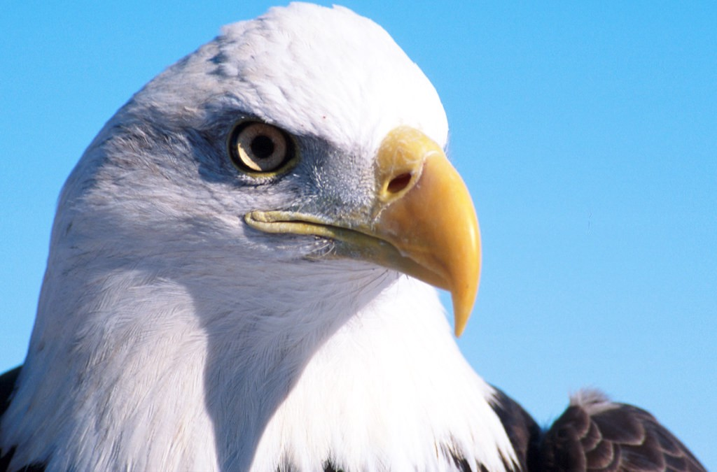 close-up of a bald eagle head