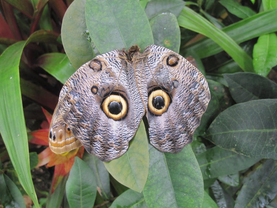 A pair of Owl butterflies imitating the face of an owl.