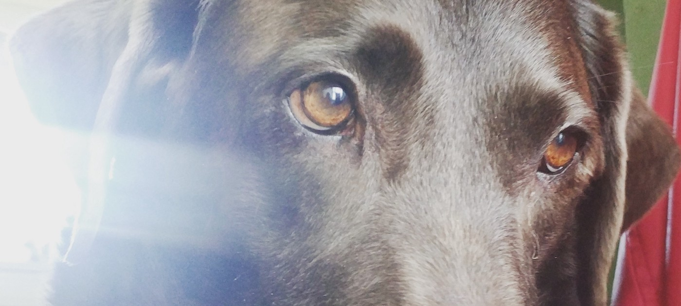 A closeup of the eyes of a labrador retreiver