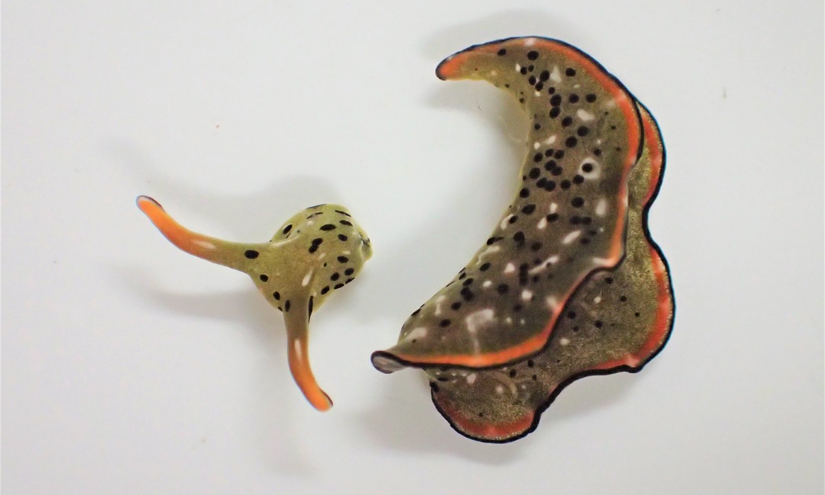 The photos shows the slug with its separated head. Source: https://www.nytimes.com/2021/03/08/science/decapitated-sea-slugs.html