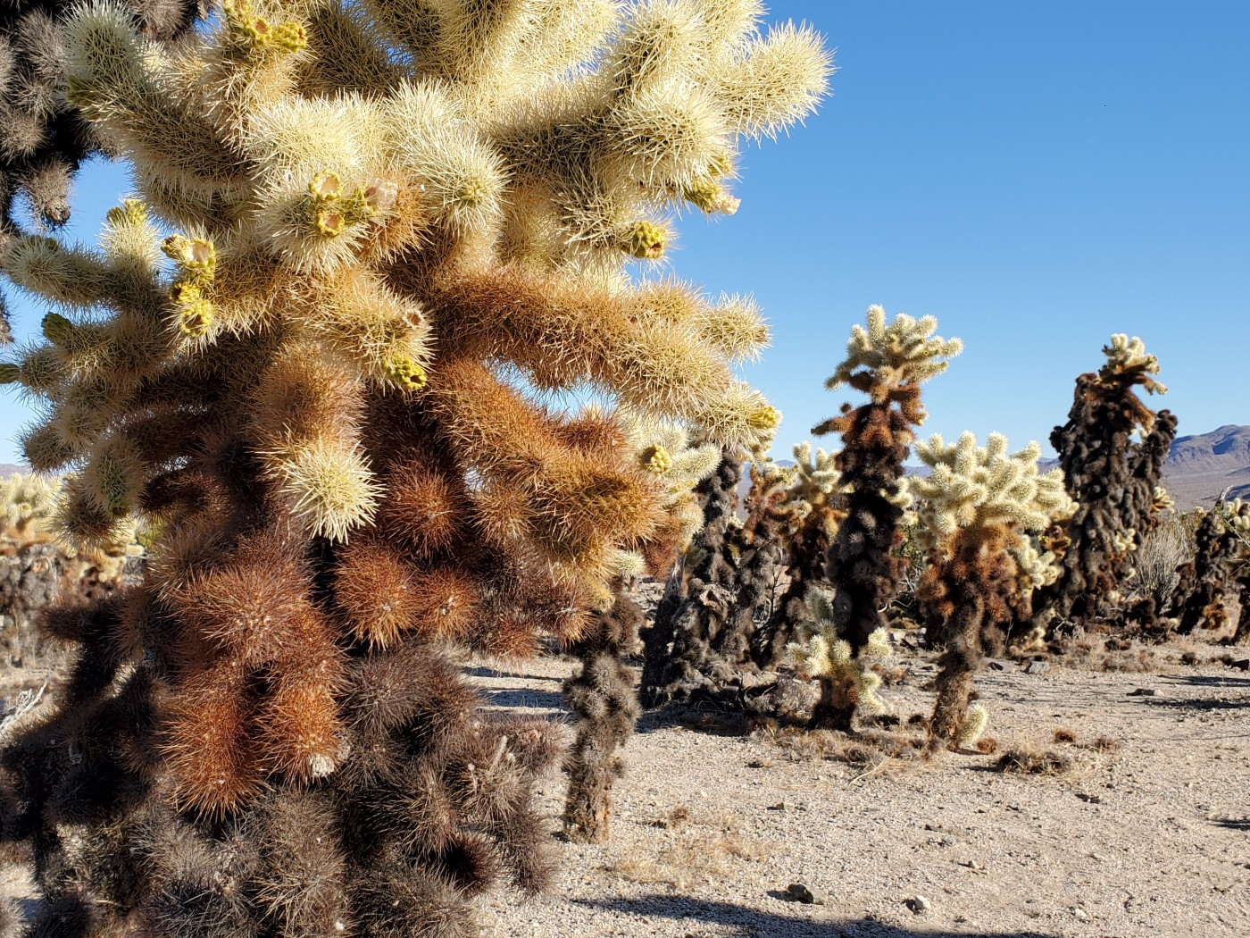 Yucca Brevifolia, commonly known as Joshua tree