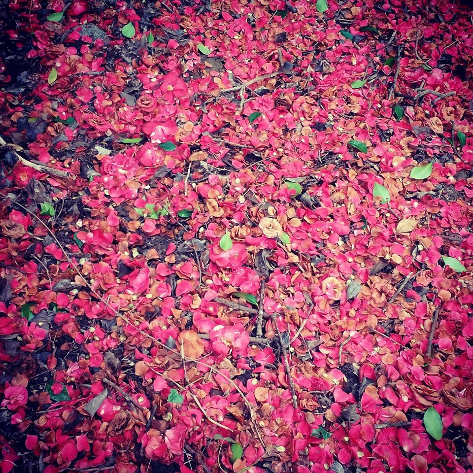 A scattering of pink petals along a walking path