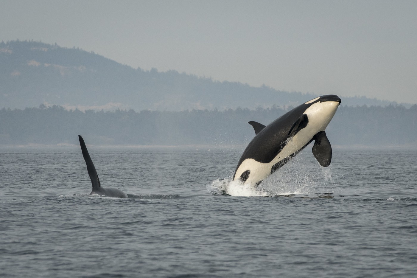Photo of J16 Southern Resident orca breaching while J26 swims nearby. Photo from Katy Foster/ NOAA Fisheres.