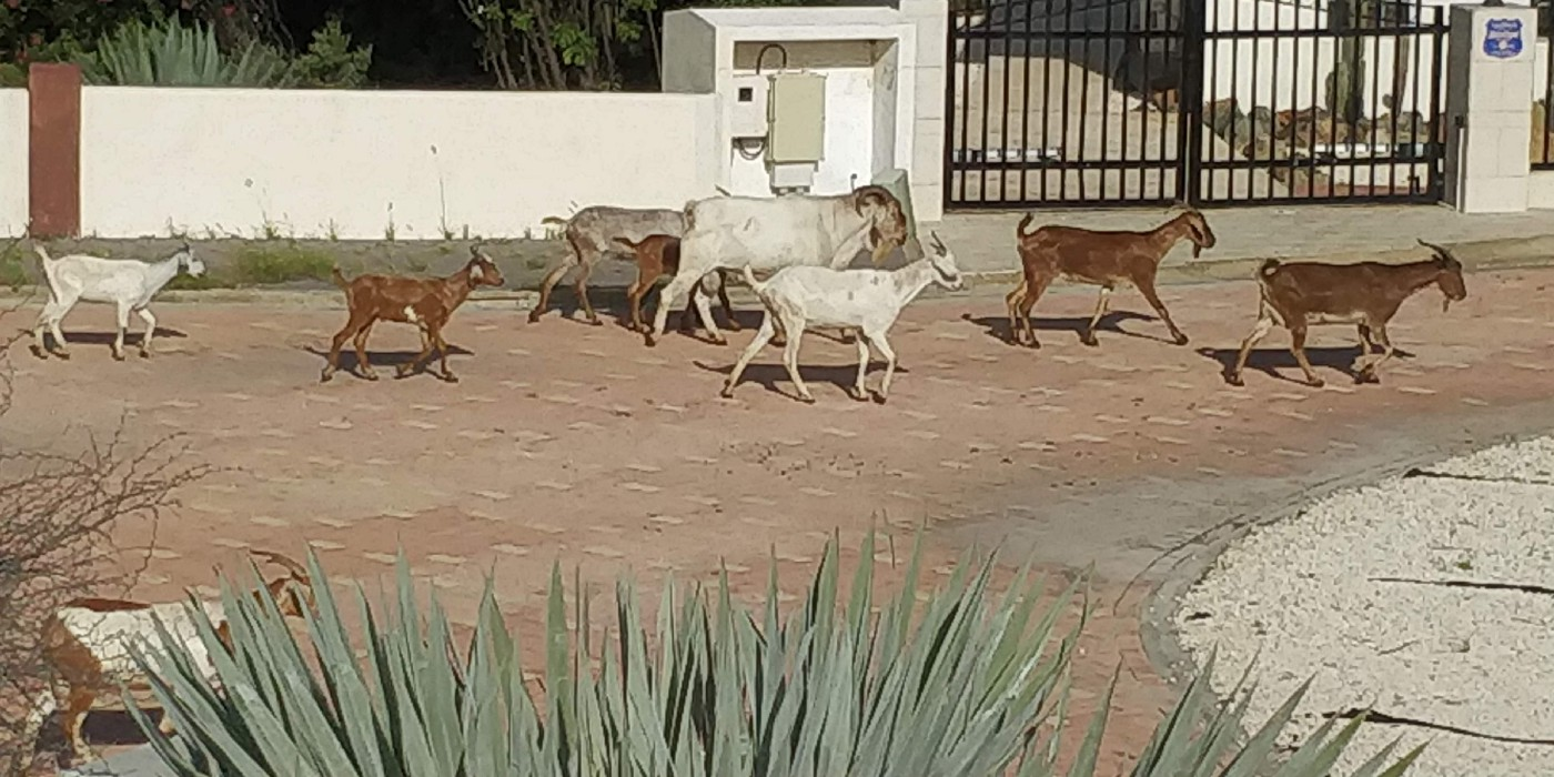 A photo of a herd of goats that visited our Aruba unit every day.