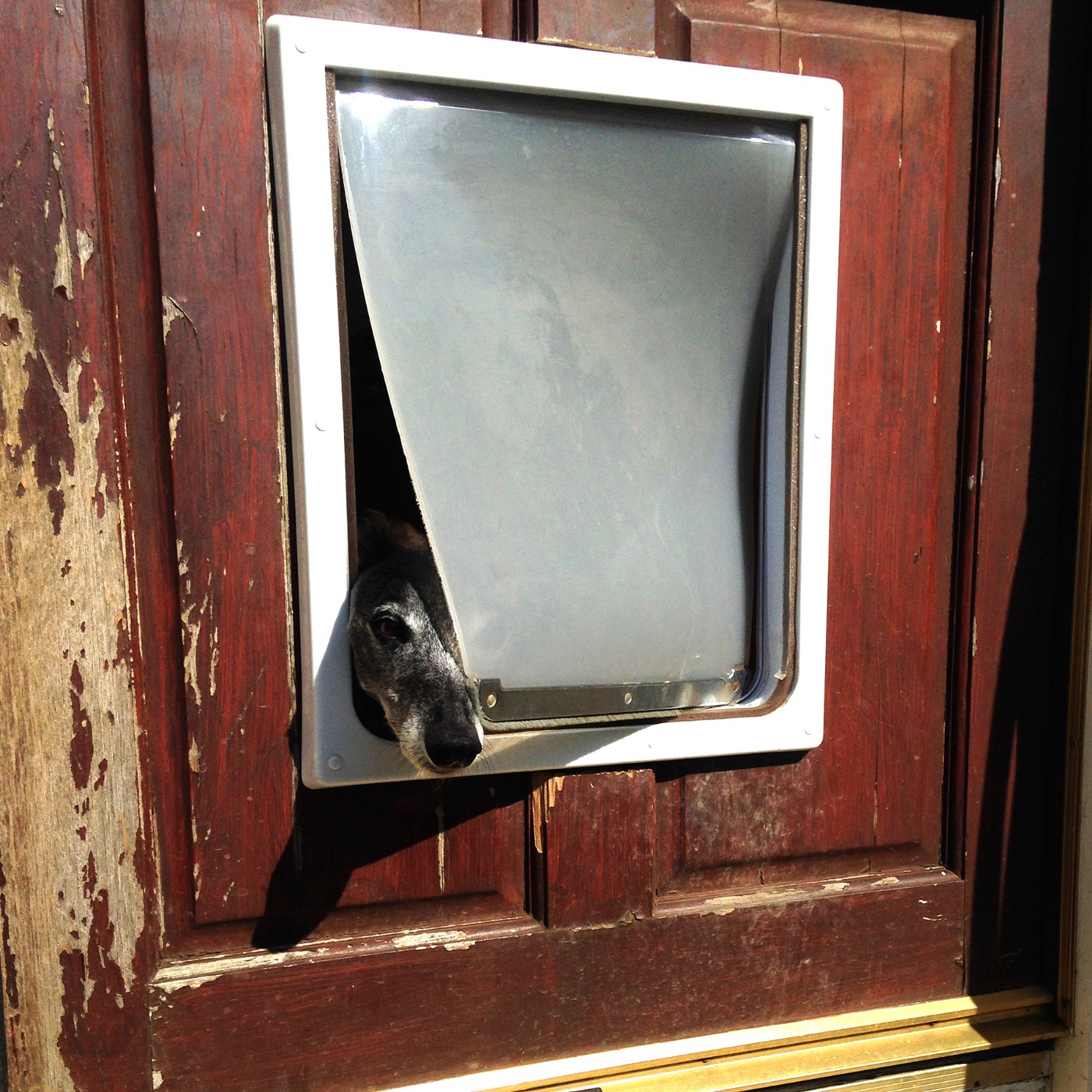 Whippet looking through dog flap