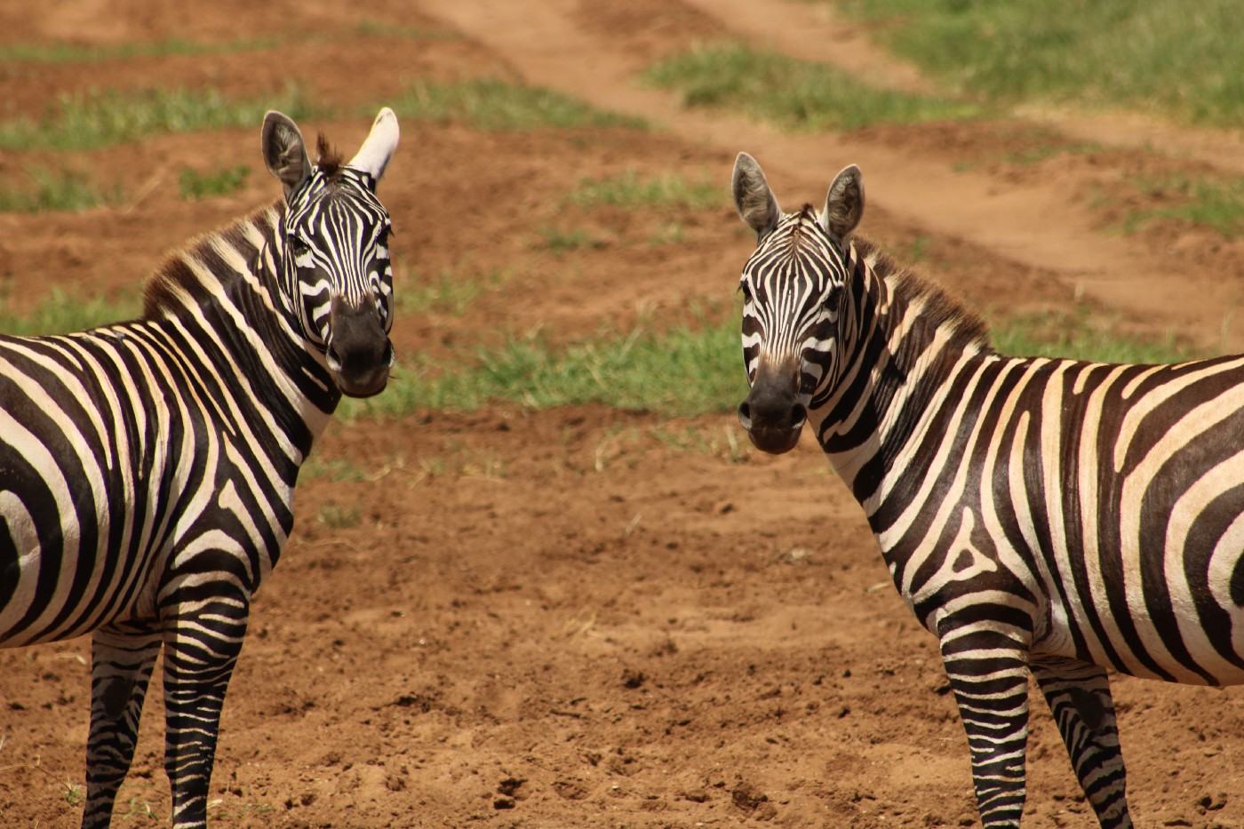 Two zebras with noticably differnet stripe patterns looking straight at the camera, one on each side of the frame.