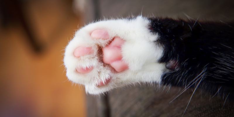A cat's paw—How To Teach a Cat To Fist Bump