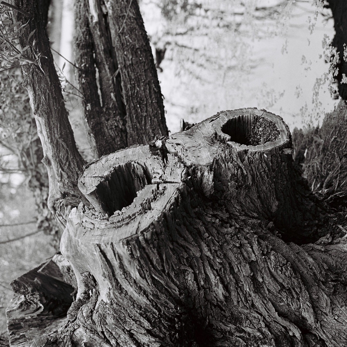 a tree cut down with holes where two branches were