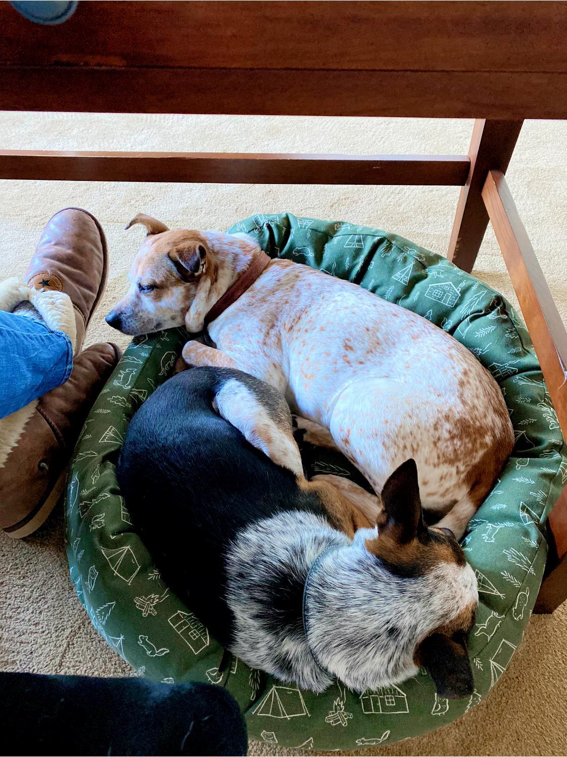 Two dogs snuggled together in a bed tucked under a desk.