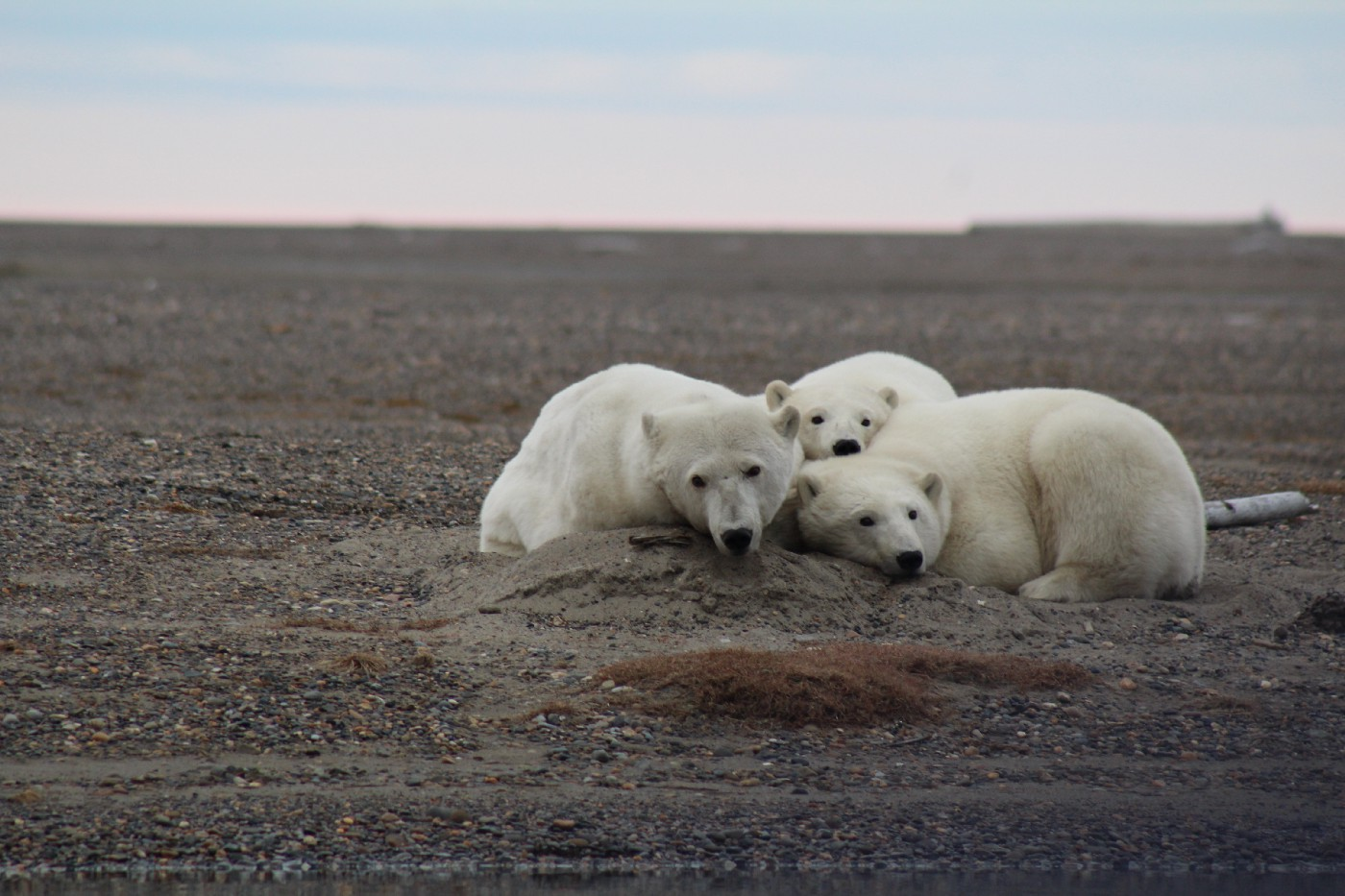 An adult polar bear and two cubs rest their heads together on a gravel island.