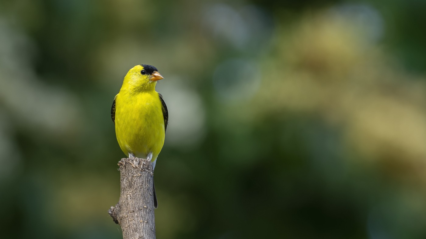 Photo of an American goldfinch in a garden.