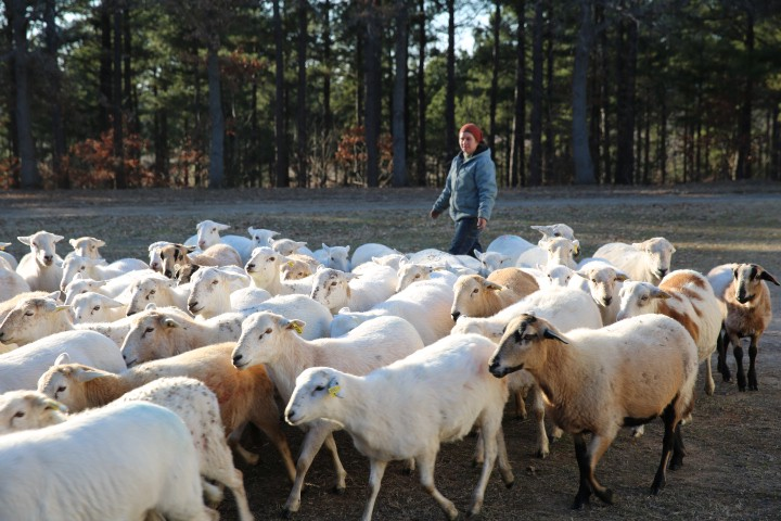 A person walking behind a large cluster of sheep with woods in the background.
