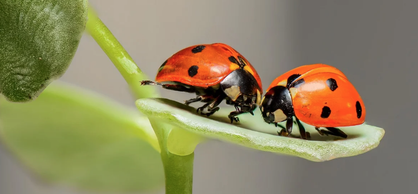 two lady bugs on a leaf