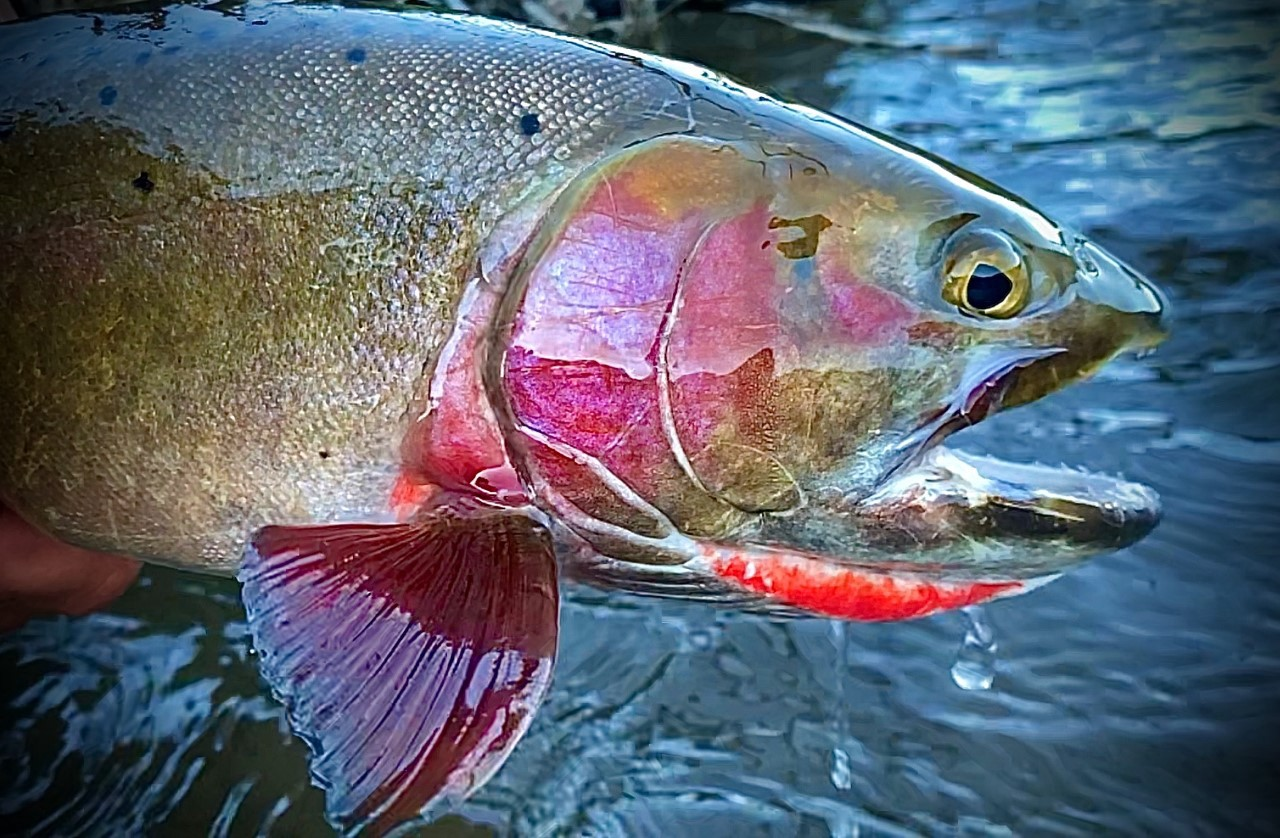 A trout with a pink cheek and red marking under its jaw