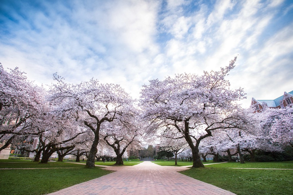 A photograph of the cherry blossoms in the University of Washington quad.