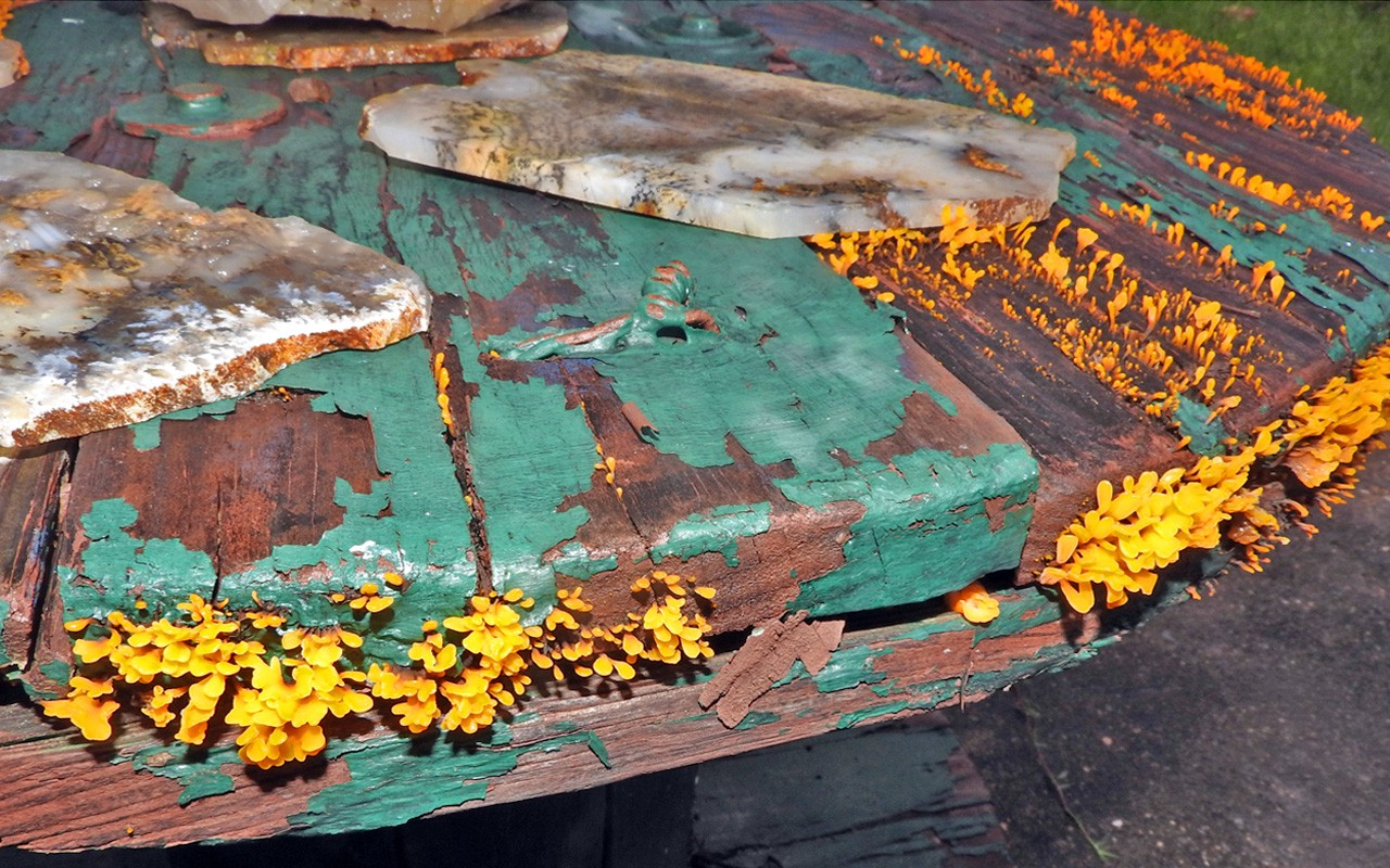 Wooden table infected with wood decay fungus and its parasite, the bright yellow Witches' Butter fungus
