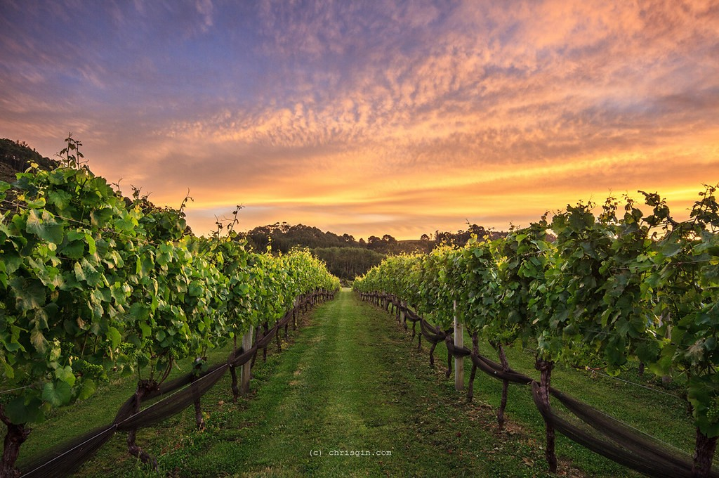 Sunset over a green track through a vineyard, with wooden fences to either side.