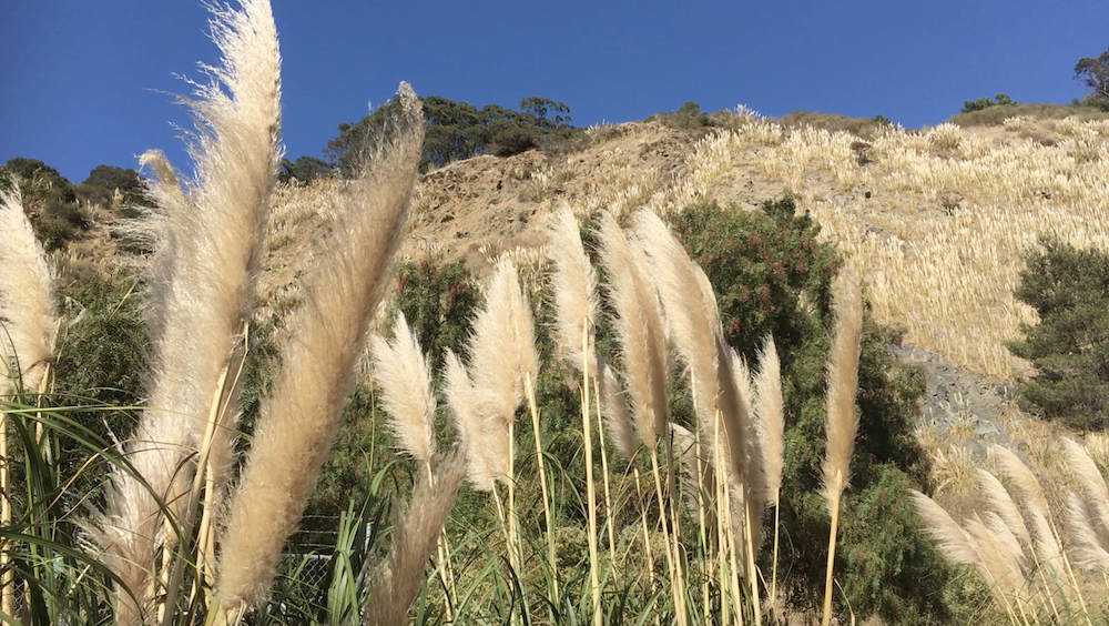 Wild pampas grass waving in the warm October wind of California. Photograph by Karine Schomer.