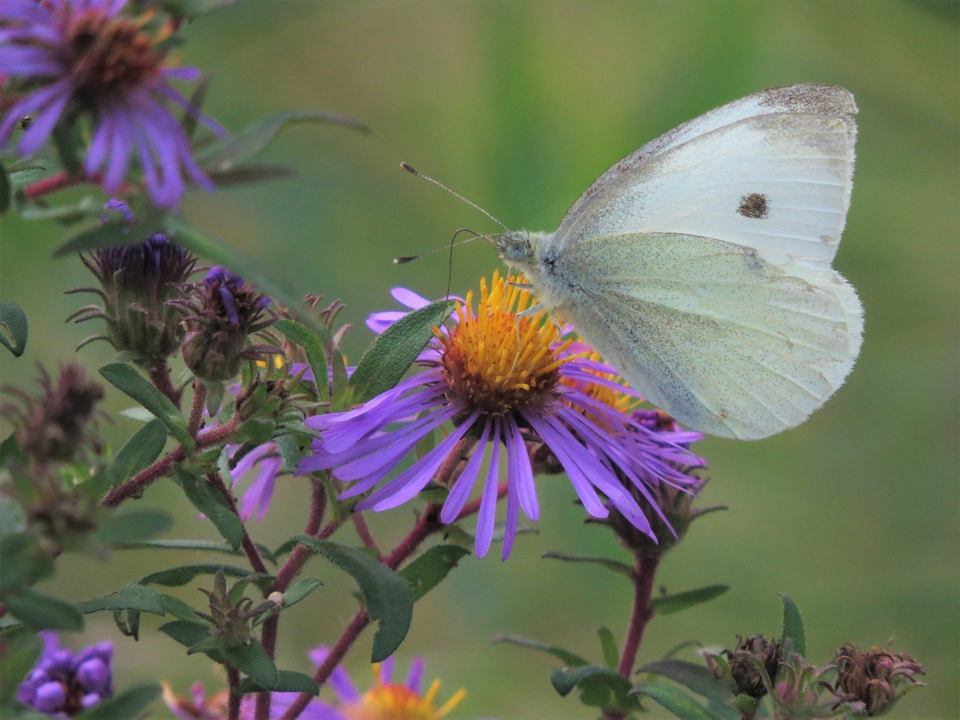 A white cabbage butterfly sipping nectar from a purple aster.