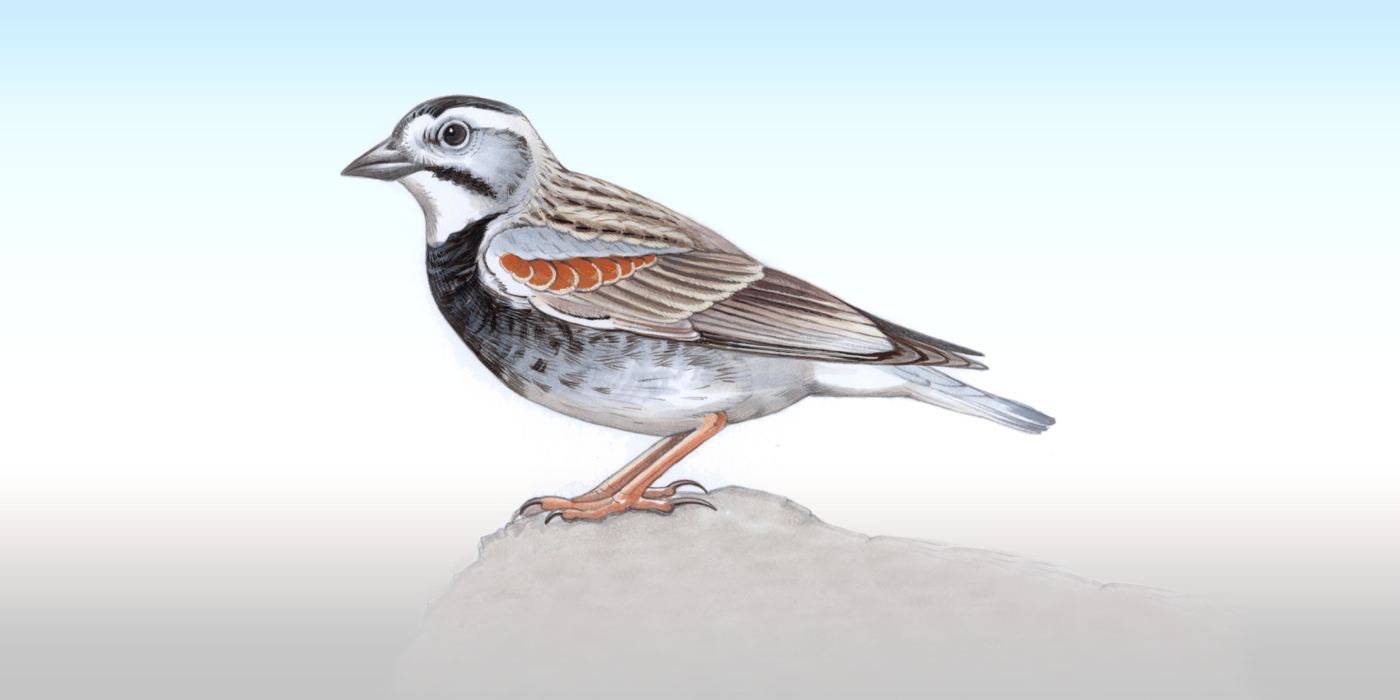 Illustration of McCown's Longspur, a small brown and grey bird