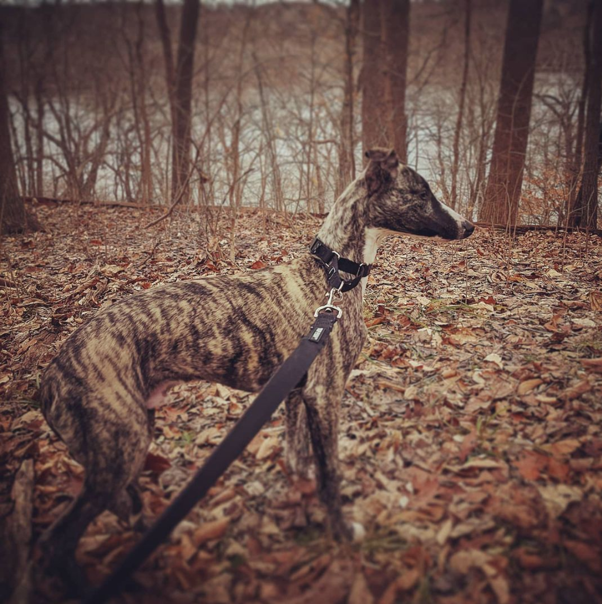 Photograph of a beautiful brindle Whippet in the autumn forest, surrounded by fall leaves.