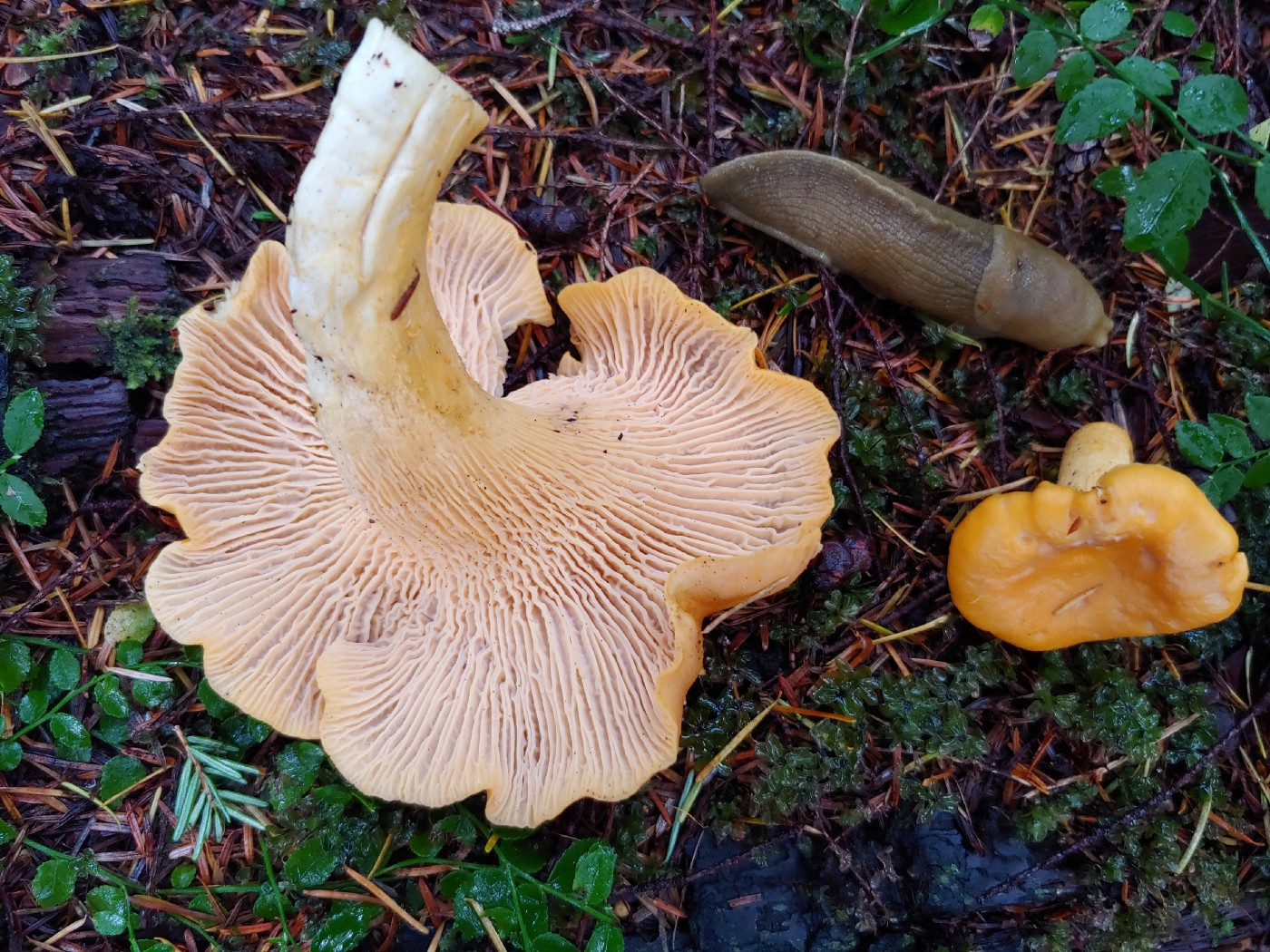 A pair of chanterelles on the forest floor with a slug nearby